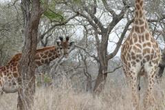 Giraffes, Hlane Royal National Park - kingdom of eSwatini