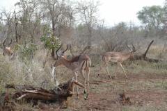 Impalas, Hlane Royal National Park - kingdom of eSwatini