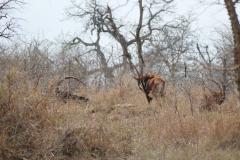 Sable antelopes, Mkhaya Game Reserve - kingdom of eSwatini
