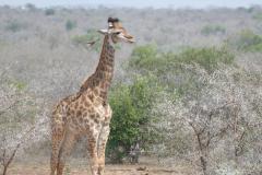Giraffe, Mkhaya Game Reserve - kingdom of eSwatini