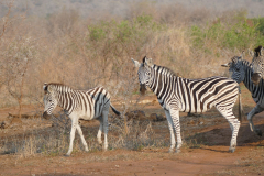 Zebras, Mkhaya Game Reserve - kingdom of eSwatini
