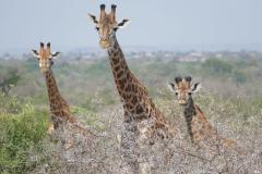 Giraffes, Mkhaya Game Reserve - kingdom of eSwatini