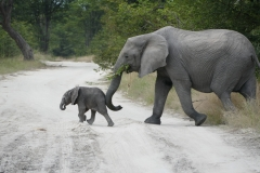 Elephants, Moremi Game Reserve - Botswana
