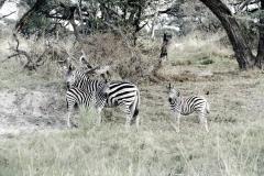 Zebras, Moremi Game Reserve - Botswana