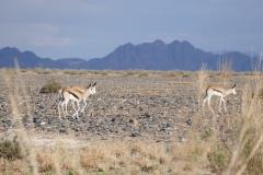 Springboks, Sesriem Canyon - Namibia