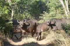 Buffalo herd, Stanley & Livingstone Private Game Reserve - Zimbabwe