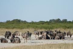 Wildebeest herd, Makgadikgadi Pans - Botswana