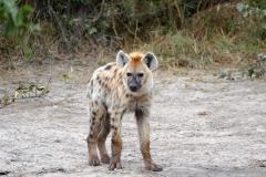 Hyena, Moremi Game Reserve - Botswana
