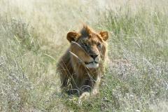 Lion, Etosha - Namibia