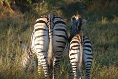 Zebras, Stanley & Livingstone Private Game Reserve - Zimbabwe