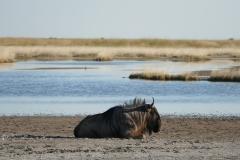 Wildebeest, Makgadikgadi Pans - Botswana
