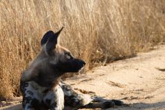Wild dog, Kruger National Park - South Africa