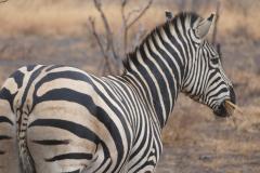 Zebra in the rain, Kruger National Park - South Africa
