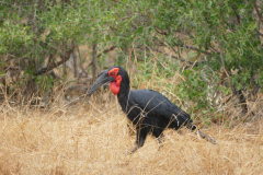 African Southern Hornbill, Kruger National Park - South Africa