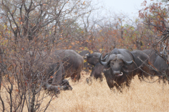 Herd of buffaloes, Kruger National Park - South Africa