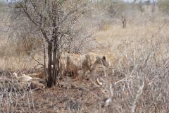 Lion pride, Kruger National Park - South Africa