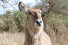 Female waterbuck, Kruger National Park - South Africa
