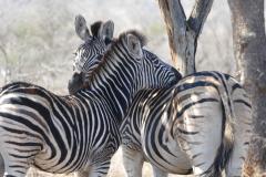 Zebras, Kruger National Park - South Africa