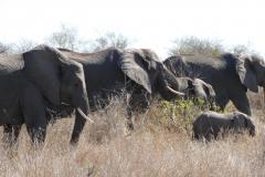 Herd of elephants, Kruger National Park - South Africa
