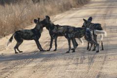 Pack of Wild dogs, Kruger National Park - South Africa