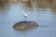Hippo, Kruger National Park - South Africa