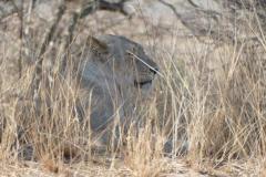 Lioness, Kruger National Park - South Africa