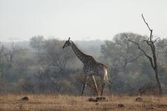 Giraffe in the morning sun, Kruger National Park - South Africa