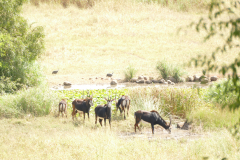 Sable antelopes, Cawston Wildlife Estate - Zimbabwe