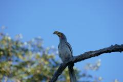 Yellow hornbill, Hwange National Park - Zimbabwe