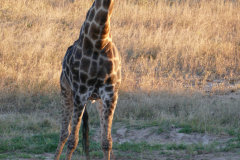 Giraffe, Hwange National Park - Zimbabwe