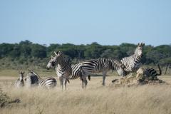 Zebras, Hwange National Park, Zimbabwe