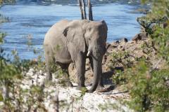 Big tusker, Zambezi National Park - Zimbabwe