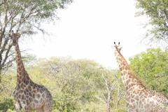 Giraffes, Cawston Wildlife Estate - Zimbabwe