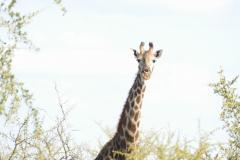 Giraffe, Cawston Wildlife Estate - Zimbabwe